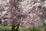桜の木の絵