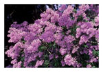 lilas arbre photo