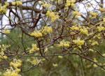 immagine albero sassofrasso
