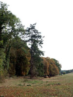 imagem da árvore de abeto