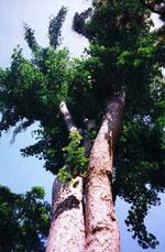 ginkgo biloba gambar pokok