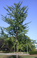 гинкго билоба дерево фото