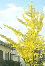 imagem da árvore de ginkgo biloba