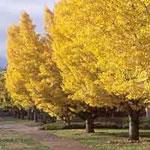ginkgo biloba gambar pohon