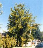 ginkgo biloba árbol foto