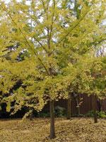 ginkgo biloba albero foto