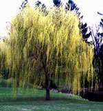 Willow Tree bilde