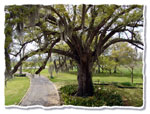 oak tree picture