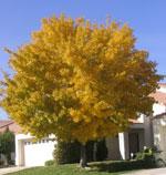 Esche, Ash Schöne Baum mit gelben Blättern