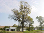 Green Ash Tree, Picture of Green Ash