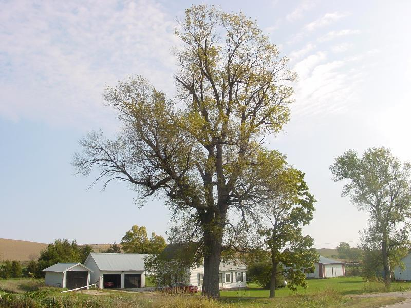 Ash tree pictures 1 ash tree pictures 2 ash tree types facts see ash