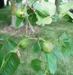 Nozes, Verde Walnut Fruit