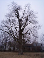 Hackberry Tree picture