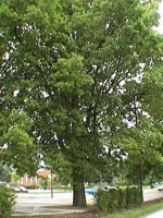 エノキの木のPIC