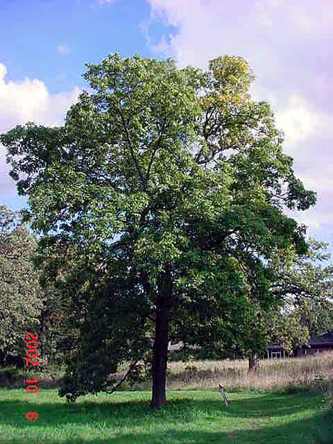 hagabark-hickory-tree