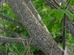 silverbell treeobraz