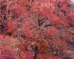 الصورة شجرة الزعرور