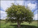 gambar pohon hawthorn