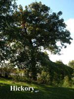 gambar pokok Hickory
