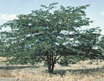 Honig Locust Tree Bild