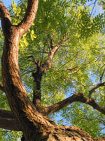 Honey Locust Tree Branches Wood