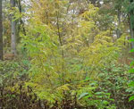 Madu Kecil Locust Tree Photo