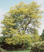 Sunburst Honey Locust Bild