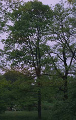 Honey Locust Picture