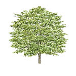 Honey Locust Larawan