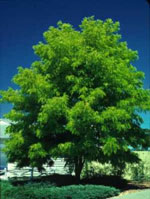 Shademaster Honey Locust Tree Foto