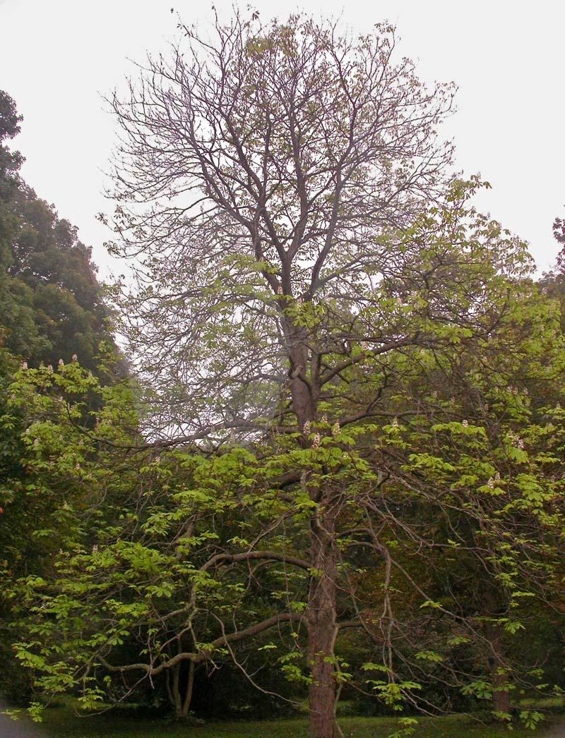 Horsechestnut tree images for The chestnut