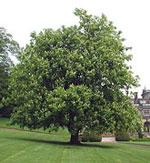 kuda gambar pokok chestnut