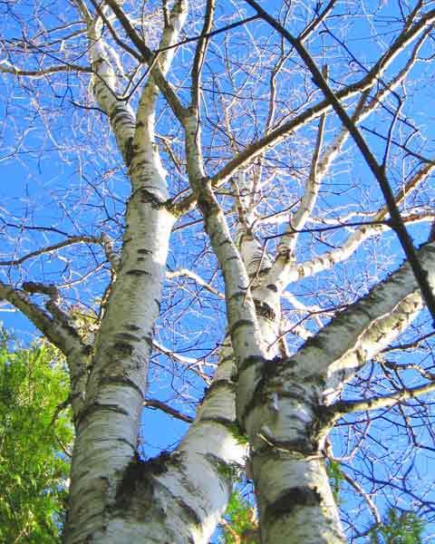 Birch Bark Christmas Tree