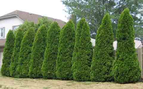 Cedar Tree Picture, Picture of a row of Cedar Trees as a Privacy Hedge