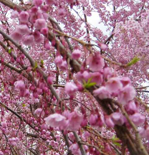 Cherry Tree Blossom Picture