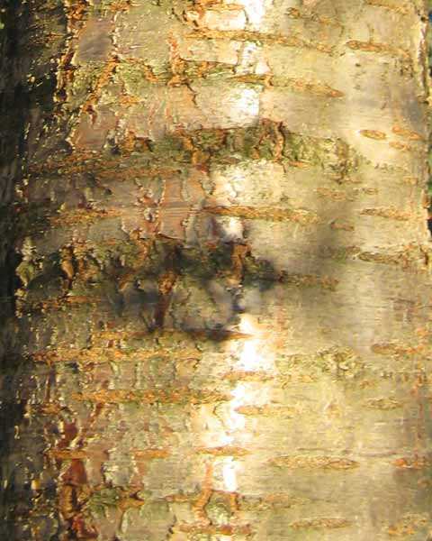 Cherry Tree Bark Picture