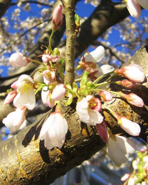 Picture of Cherry Tree Buds
