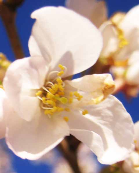 Picture of Cherry Tree Flower