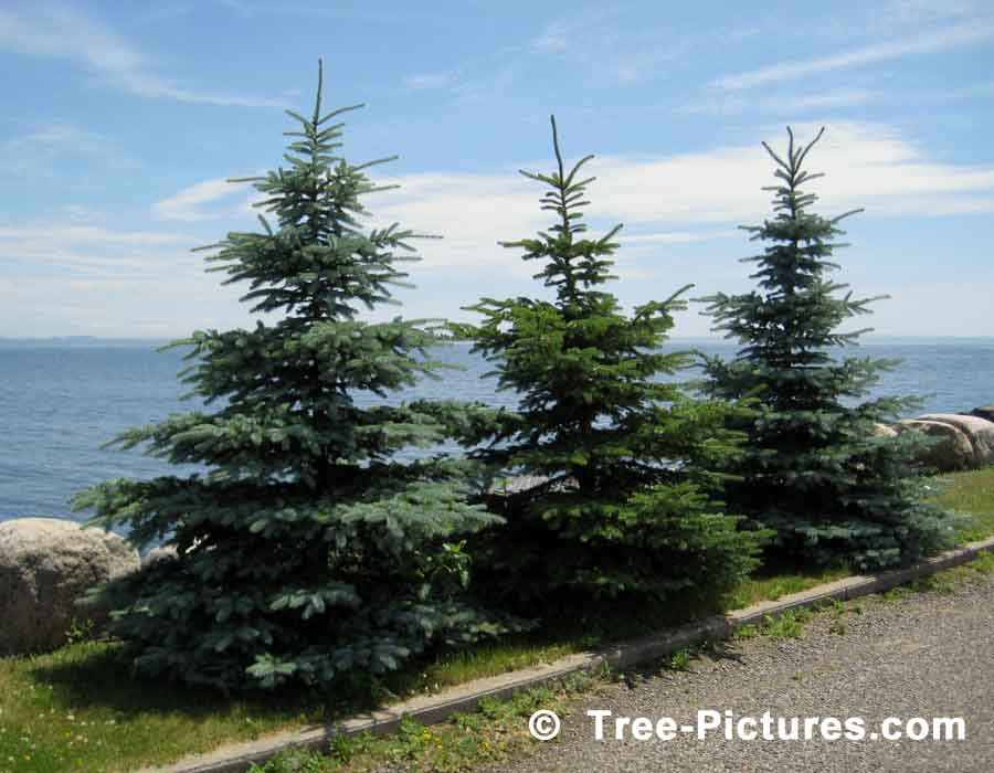 Three Little Christmas Trees All In A Row | Xmas Trees at Tree-Pictures.com