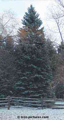 Christmas Tree Pictures, natural setting of a lightly snow covered spruce tree