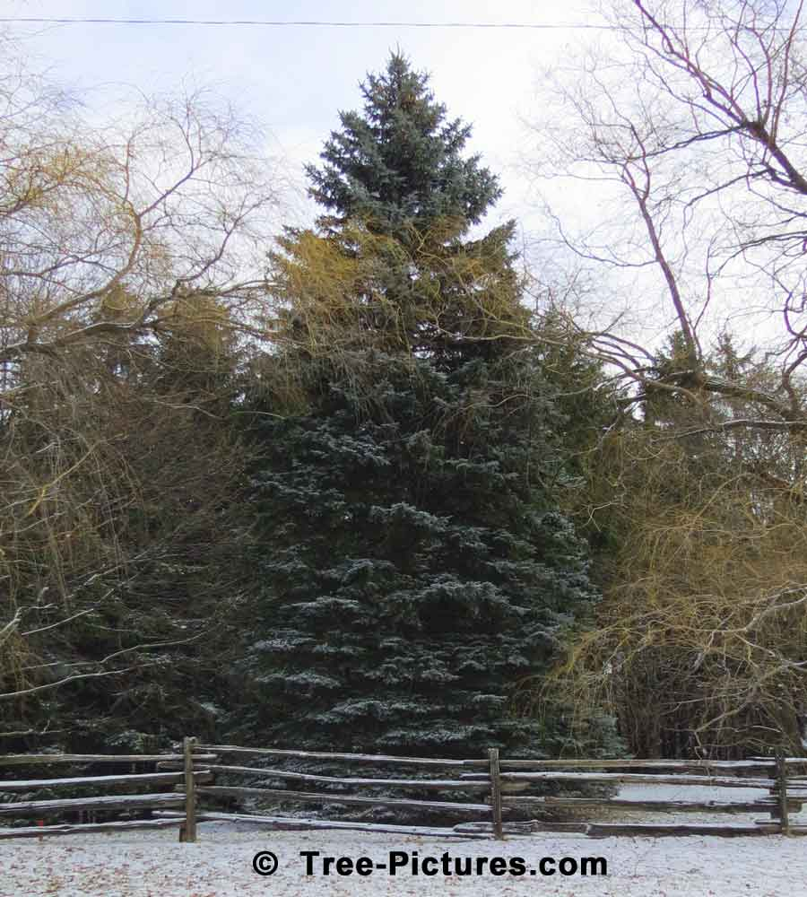 Huge Christmas Tree in Natural Setting with Light Dusting of Snow | Xmas Trees at Tree-Pictures.com