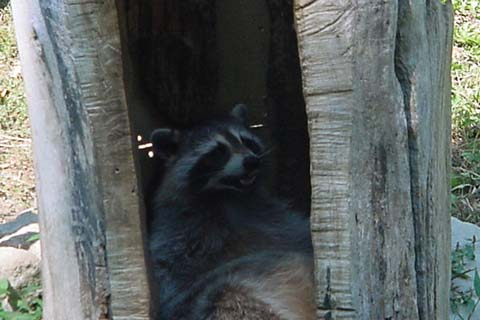 Fat Racoon Tree Picture