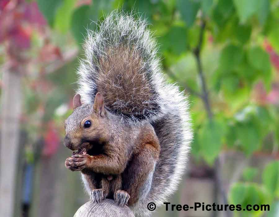 Black Walnut Eating Machine, Brown Squirrel Photo | Trees:Walnut:Black at Tree-Pictures.com