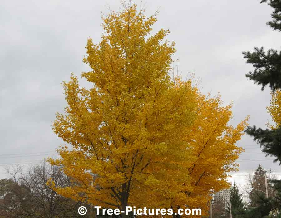 Ginkgo: Autumn Yellow Ginkgo Biloba Tree | Ginko Trees at Tree-Pictures.com