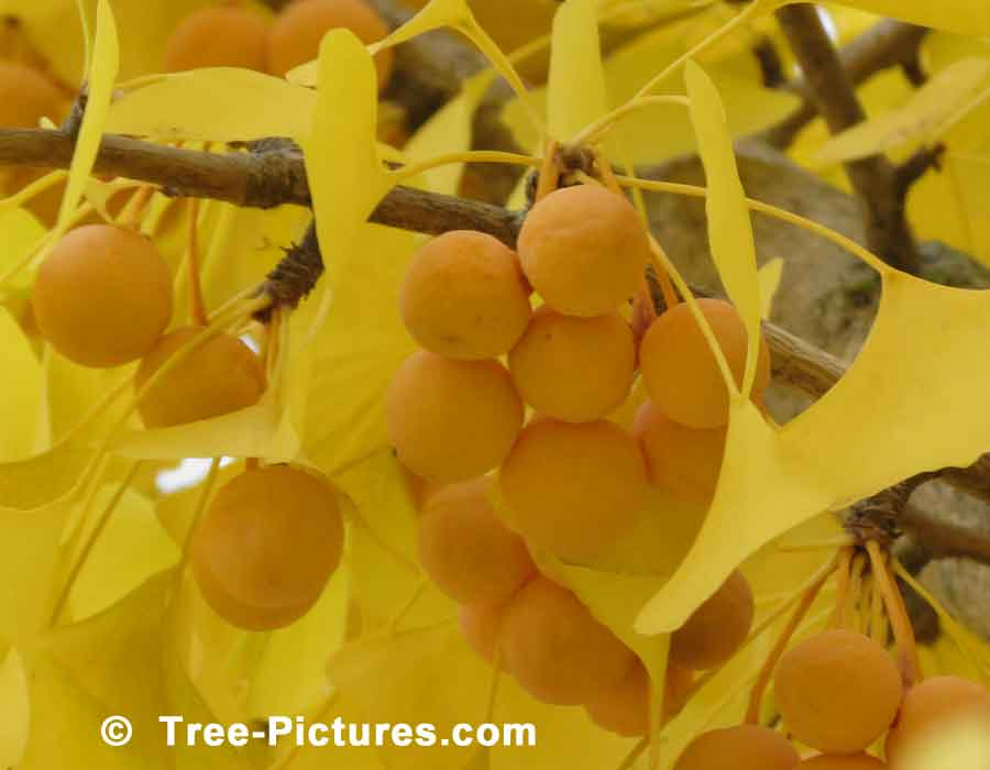 Ginkgo: Fruit of the Ginkgo Biloba Tree | Ginko Trees at Tree-Pictures.com