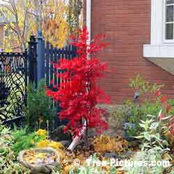 Japanese Maple, Urban Red Maple Tree Species planted on Corner of House, 1.5 metres high(5-6') planted about 3 years ago| Red Japanese Maples @ Tree-Pictures.com