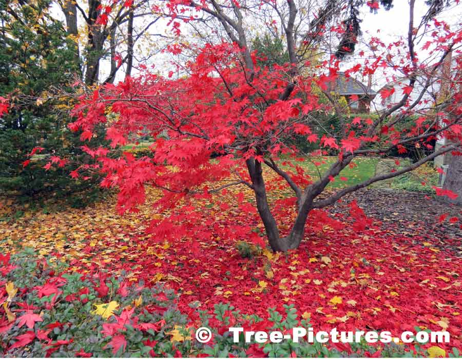 Maple Trees, Striking Photo of Japanese Maple Losing its Leaves in the Fall | Maple Trees at Tree-Pictures.com