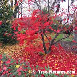 Maple Trees, Striking Photo of Japanese Maple Losing its Leaves in the Fall | Maple Trees @ Tree-Pictures.com