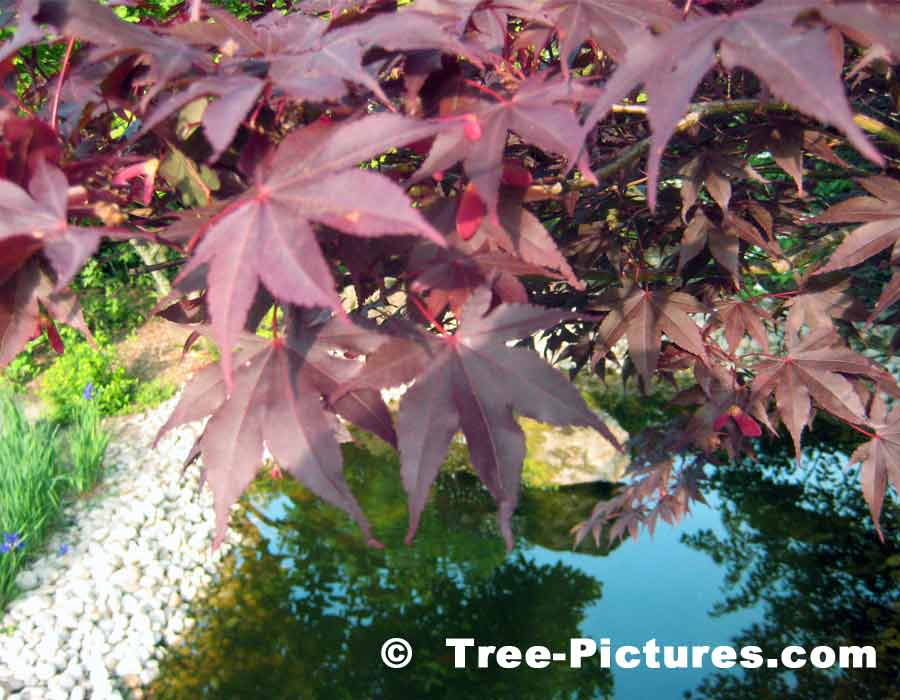 Burgundy Red Leaves of the Japanese Maple | Maple Trees at Tree-Pictures.com