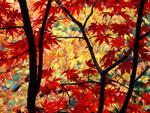 Hapon Maple larawan puno